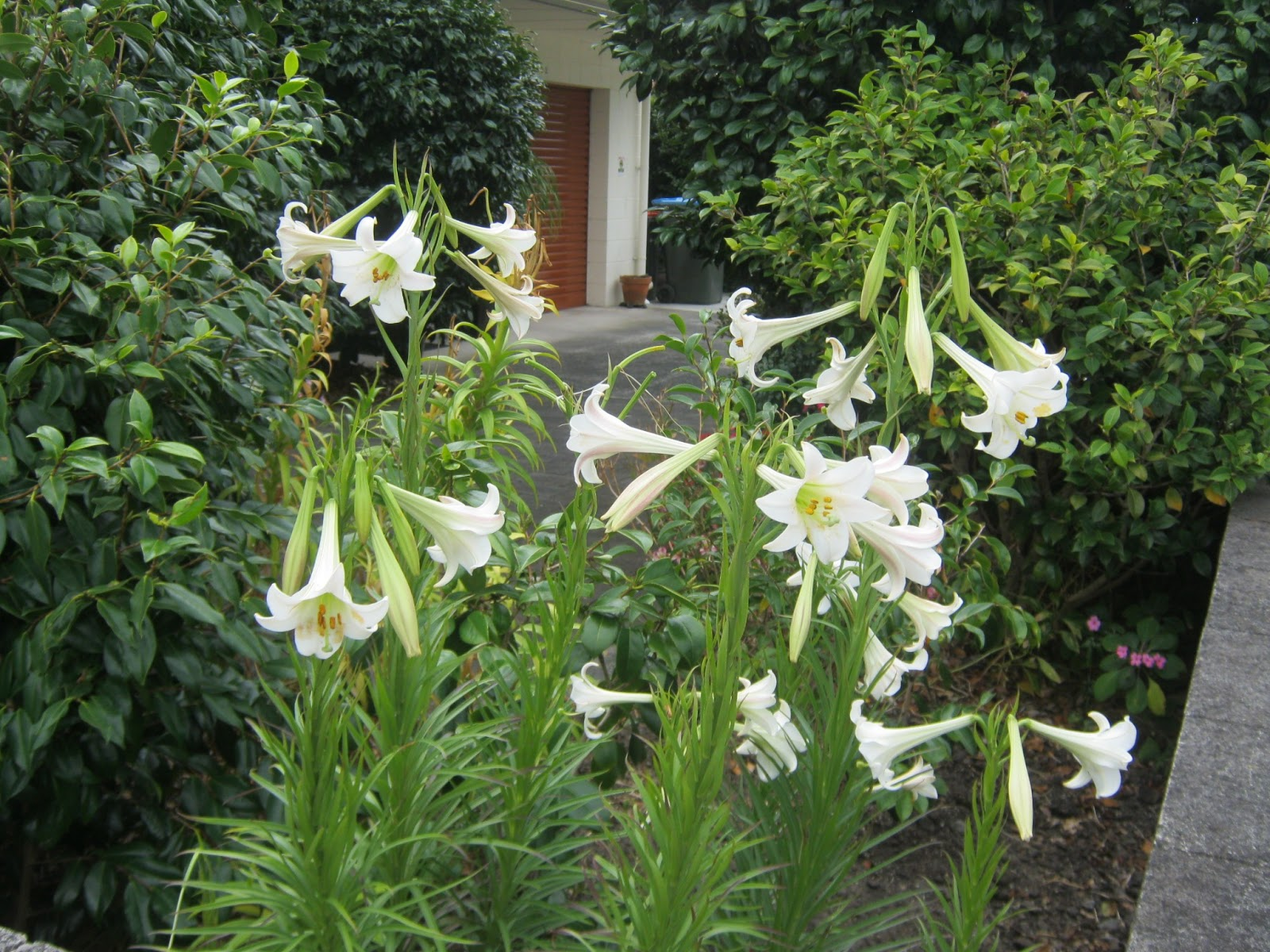 my walk with food and beautiful plants and flowers: Christmas lily