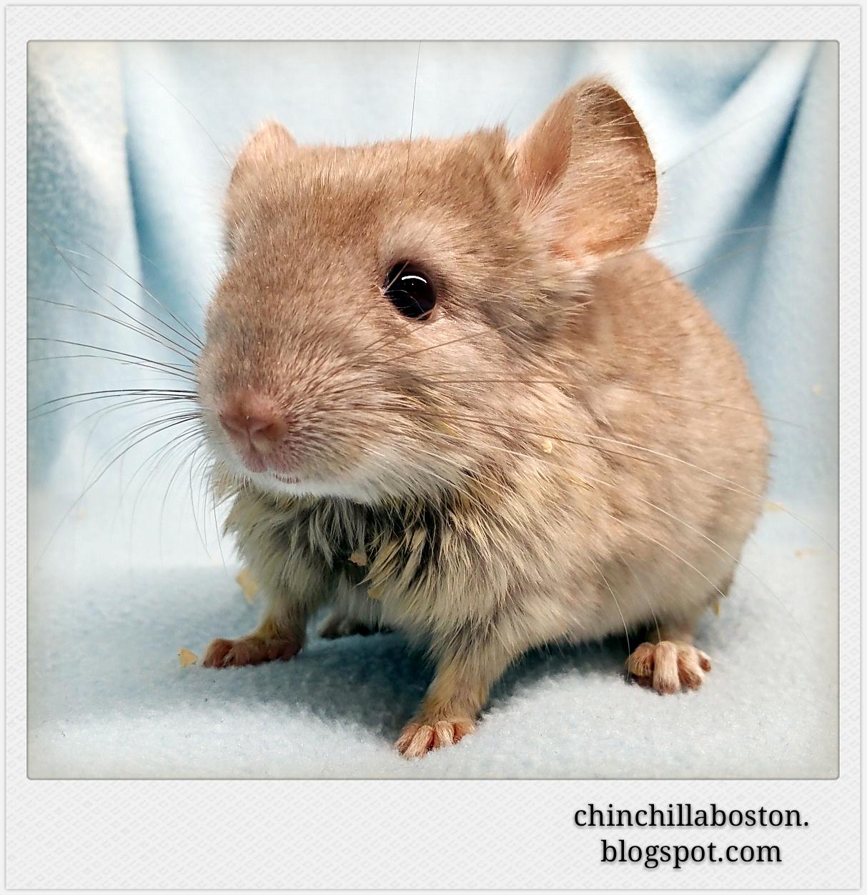 Chinchilla Boston