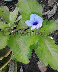 bunga pletekan