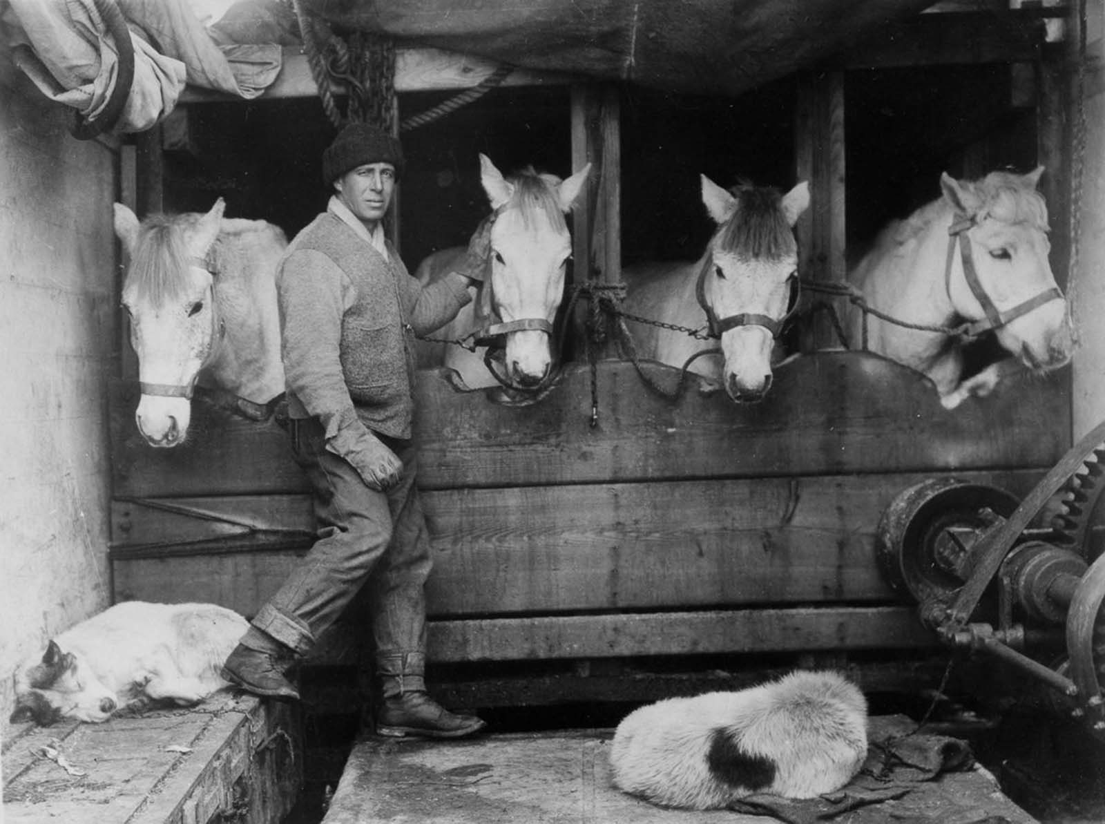 Capt. Lawrence Oates tends to the ponies in their stables aboard the Terra Nova. December, 1910.