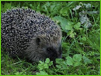 Hedgehog Atelerix Albiventris Pictures