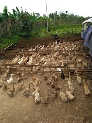 Ternak Menguntungkan Di Lahan Sempit : ternak, menguntungkan, lahan, sempit, Usaha, Ternak, Lahan, Sempit, Modal, Kecil,, Hasil, Melimpah, Contoh, Kecil, Kecilan, Dirumah