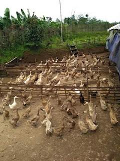 Usaha Ternak Menguntungkan Modal Kecil di Lahan Sempit, Tapi Hasil Melimpah