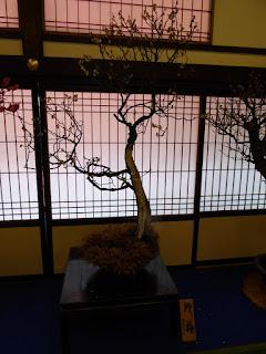 大阪天満宮・大盆梅展(盆梅と盆石展) 野梅