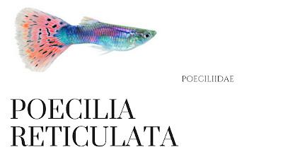 millionfish-rainbowfish-guppy