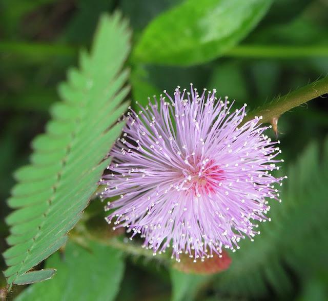 Hoa CÂY XẤU HỔ - Mimosa pudica - Nguyên liệu làm Thuốc Ngủ, An Thần, Trấn Kinh