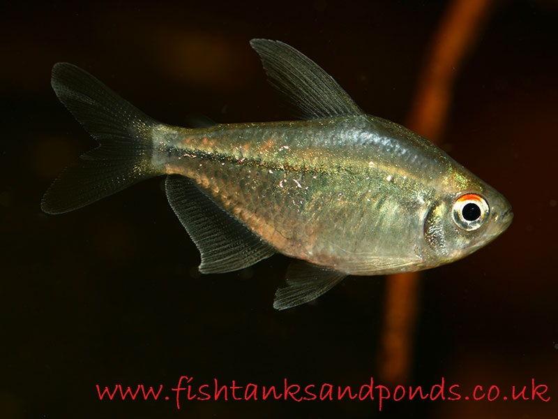 Gambar Sekilas Profil Dan Cara Merawat Ikan Hias Diamond Tetra