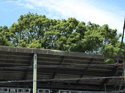 萱島神社の御神木・推定樹齢700年の大クスノキ