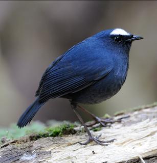 Cara Tepat Perawatan Burung Cingcoang Biru Bakalan