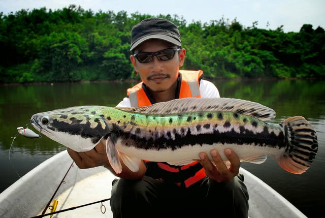 Unduh 107 Gambar Ikan Gabus Terbesar HD Terbaik