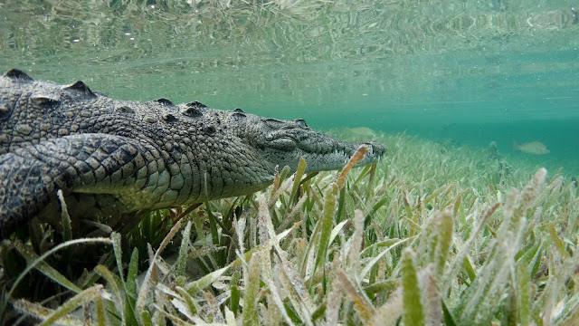 Adult saltwater crocodile swims in crystal clear water in Cuba