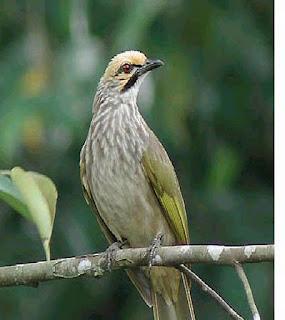 Burung Cucak Rowo - Mengenal Ciri-Ciri dan Kualitas Suaran Burung Cucak Rowo Asal Dari Aceh - Penangkaran Burung Cucak Rowo