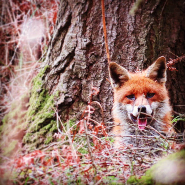 Wicklow Mountains Tour - Fox spotted along St. Kevin's Way in Glendalough