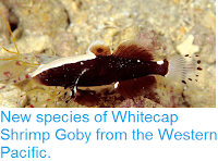 http://sciencythoughts.blogspot.co.uk/2012/07/new-species-of-whitecap-shrimp-goby.html