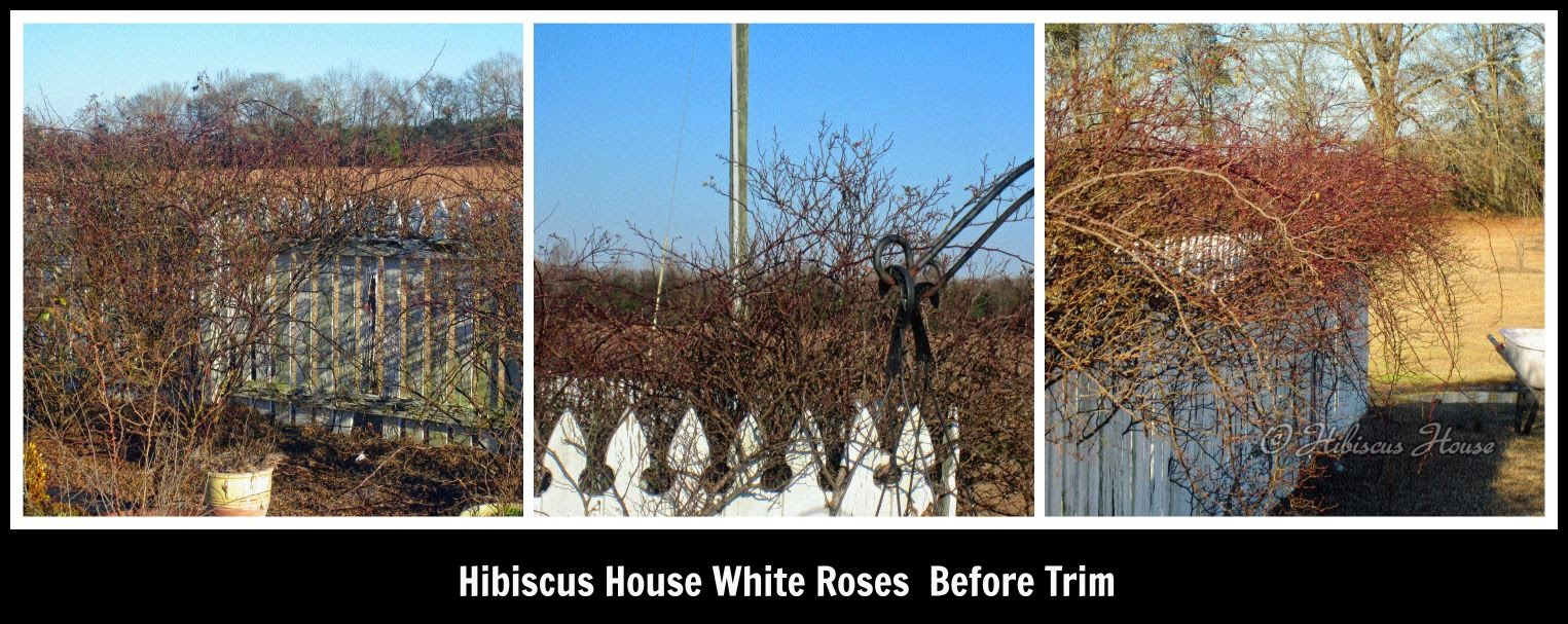 Hibiscus House: Rose Gardens: Trimming The White Roses