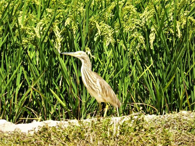 Garcilla en el Parque Natural del Delta del Ebro