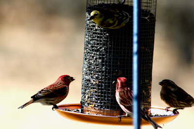 gold (top) and purple finches: a colorful, diverse mixture at the feeder