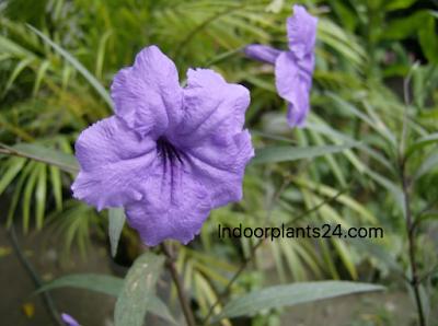 Ruellia makoyana Acanthaccac monkey  plant (purple flower) photo