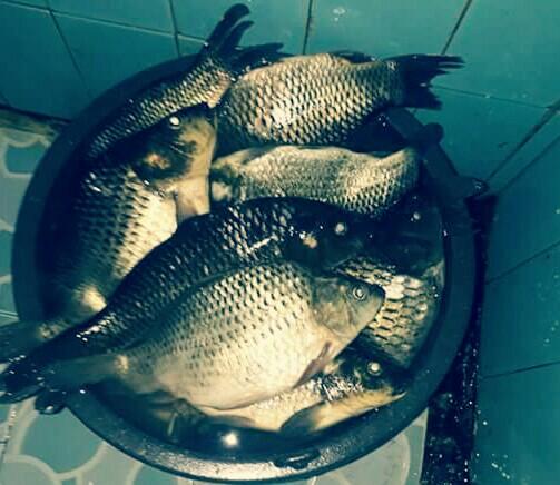 5 Makanan Ikan Mas Supaya Cepat Besar