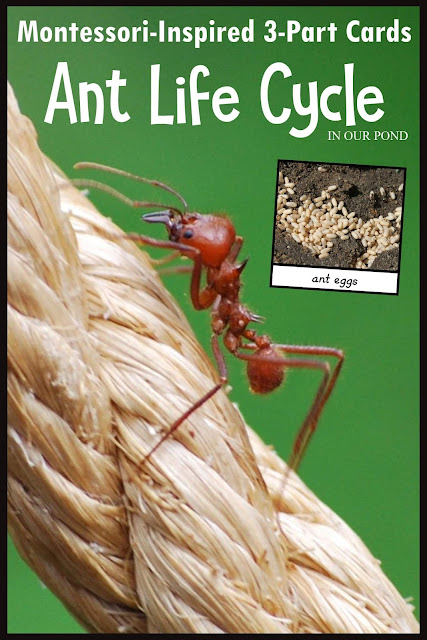 Montessori-Inspired Ant Life Cycle 3-Part Cards // In Our Pond // Great for homeschooling or classroom work, these free printable cards encourage scientific exploration, memorization of the life cycle, and comparisons between insects.
