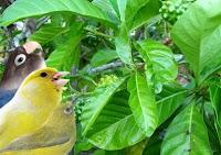 Manfaat Daun Mengkudu untuk Lovebird Dan Kenari