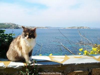 koloroey grecki kot siedzi na murku w tle greckie błękitne niebo obok żółte kwiaty