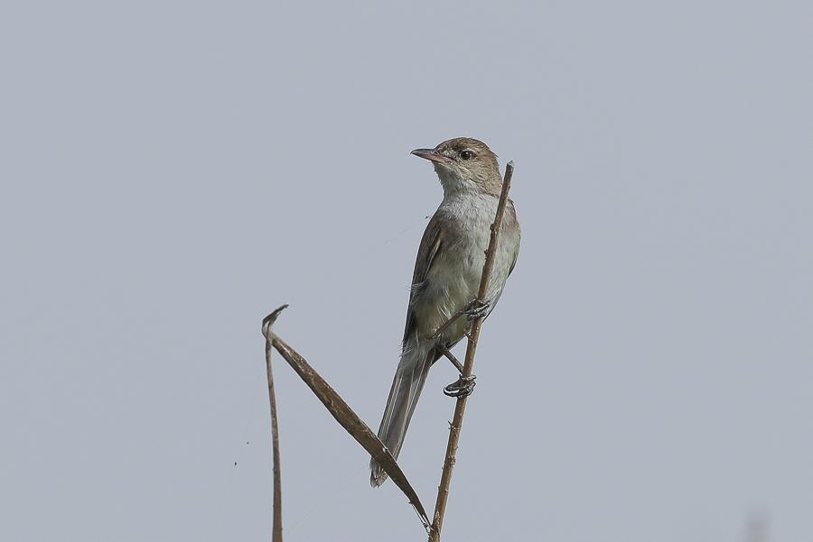 Indian Reed Warbler