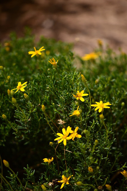 amy myers, small sunny garden, desert garden, damianita, chrysactinia mexicana, plant encyclopedia