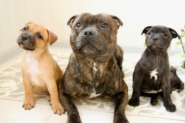 Staffordshire Bull Terrier Dog Breed Australian Dog Lover