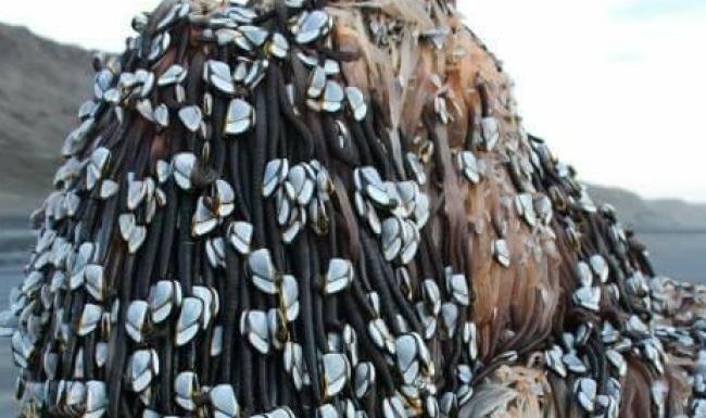 Objek Pelik Ditemukan di Pantai Muriwai, Auckland