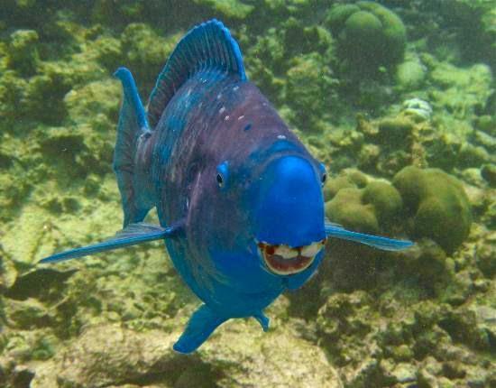 pez loro azul  scarus coeruleus