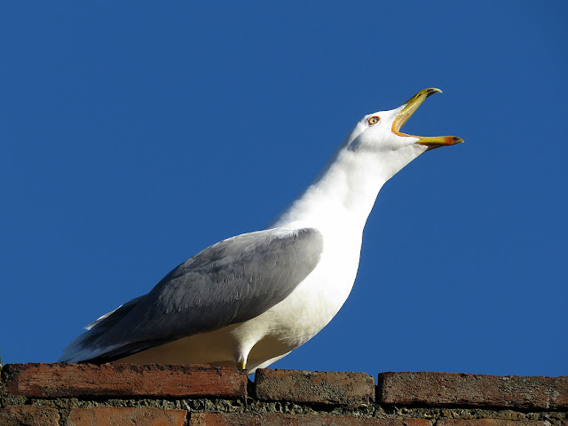 Gull on the walls of the Fortezza Nuova, Livorno