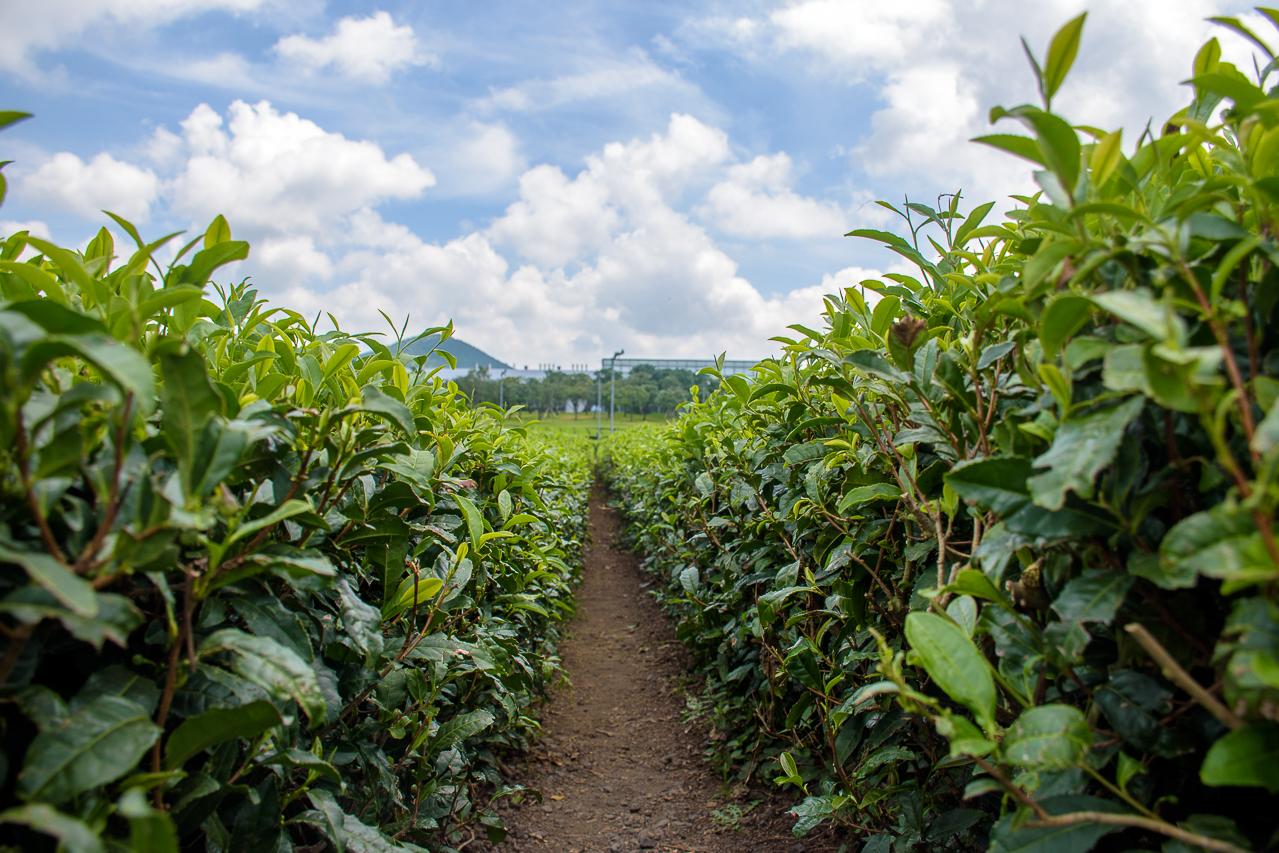O'sulloc green tea plantation jeju korea