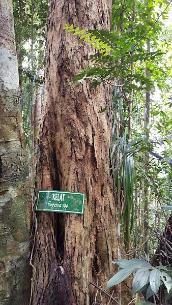 Pokok Kelat