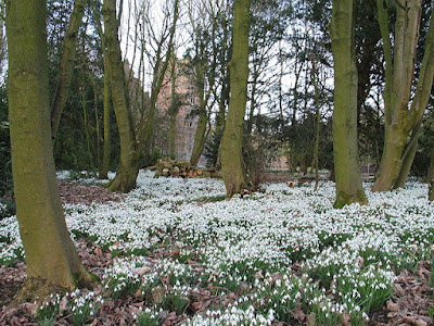 drift of white flowering snowdrops in woodland