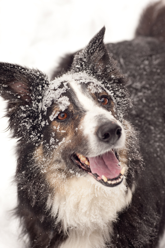 A happy border collie with snow on its fur