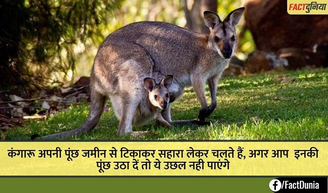 nature-animal-fact-hindi-kangaroo
