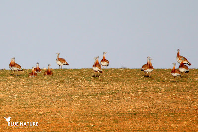 Los bandos de aves esteparias como este de avutarda común (Otis tarda) son habituales tanto el la IBA Alcarria de Alcalá como en Talamanca - Camarma.