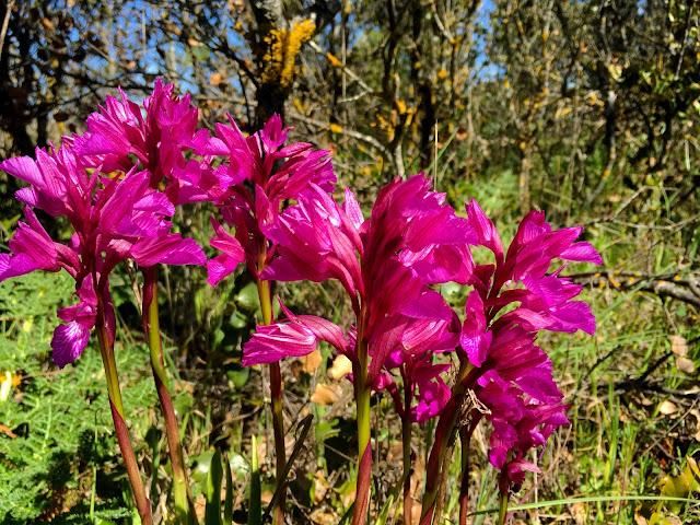 Orquídeas de Cáceres - Extremadura - foto Demetrio Fernández Vaquero