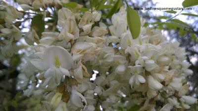 Flores de Falsa Acacia (Robinia pseudoacacia)