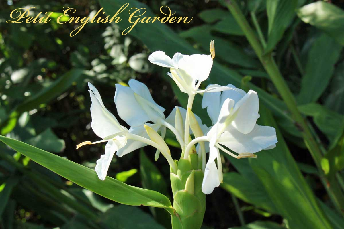 Petit English Garden By Marple Poirot Sweet Scented White Flowers