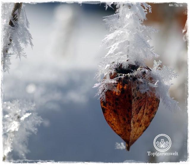Gartenblog Topfgartenwelt Raureif: Lampionblume Nahaufnahme