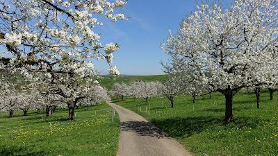 Kirschgarten bei Häfelfingen