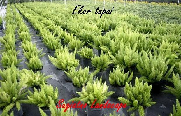 EKOR-TUPAI