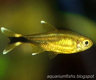 Copper Tetra, Hasemania Melanura (Ellis, 1911)