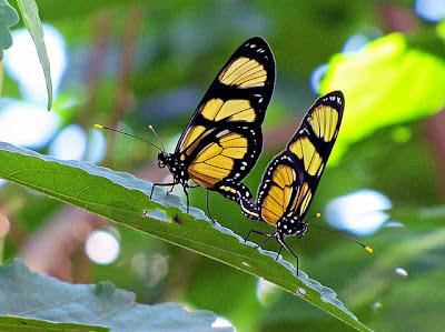 Agora espero a borboleta vir se alimentar do manacá...
