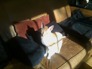 Cornish Rex Cat basking in the sun