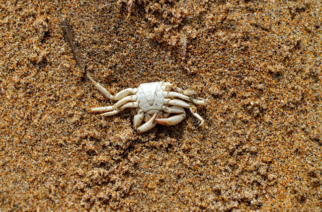 Crab Barafundle Bay Pembrokeshire Favourite  Beach