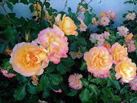 Róża w ogrodzie nieborowskim