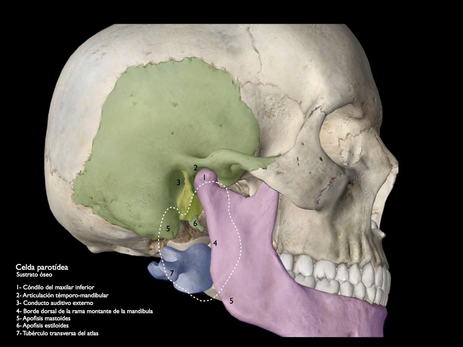 Cuadernos de Anatomía Quirúrgica: Celda parotidea y espacio ...